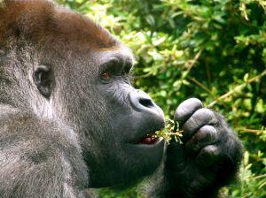 Tudi človeku podobne opice imajo rade meso