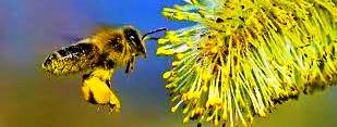 Čebela obira cvetni med